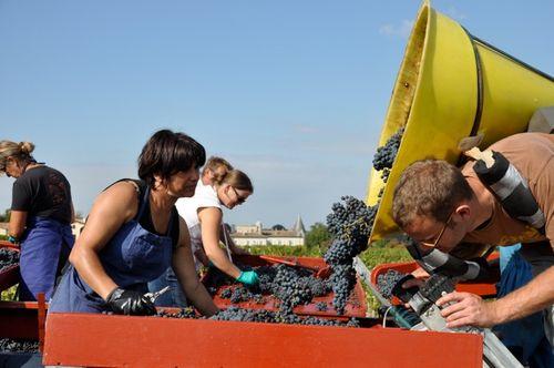Lafite harvest