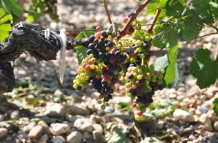 Grapes_Bordeaux