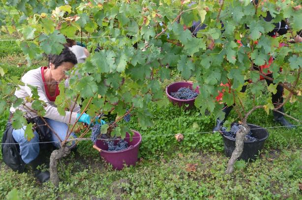 Cheval Blanc_harvest